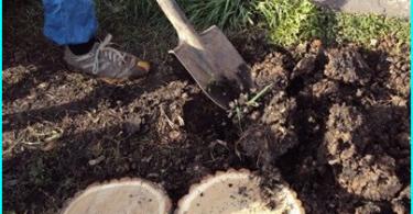Types d'épinette: les meilleures variétés ornementales pour la culture dans le jardin