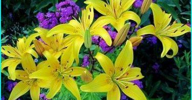 Nous cultivons lis: règles de plantation et d'entretien + secrets jardiniers