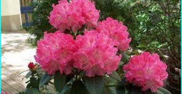 Rhododendrons: plantation, la culture et l'entretien, tout sur la reproduction